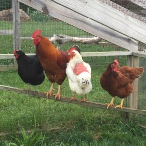 Chickens is part of our farm sitting services