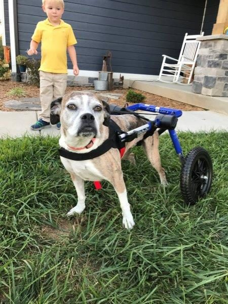 Lacey the boxer gets her legs back!