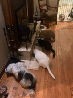 Charley and his kitties having dinner with his puppy friends supervising