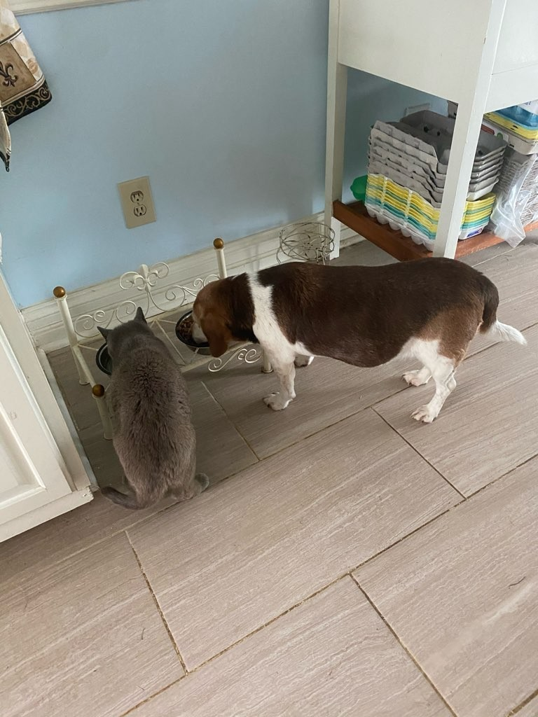 Lucy the beagle sharing with her kitty cat friend Belle